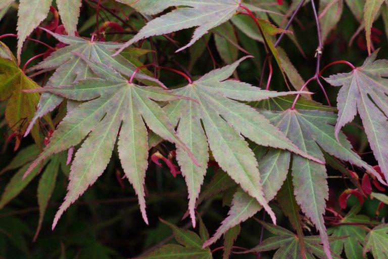 Acer palmatum Nicholsonii