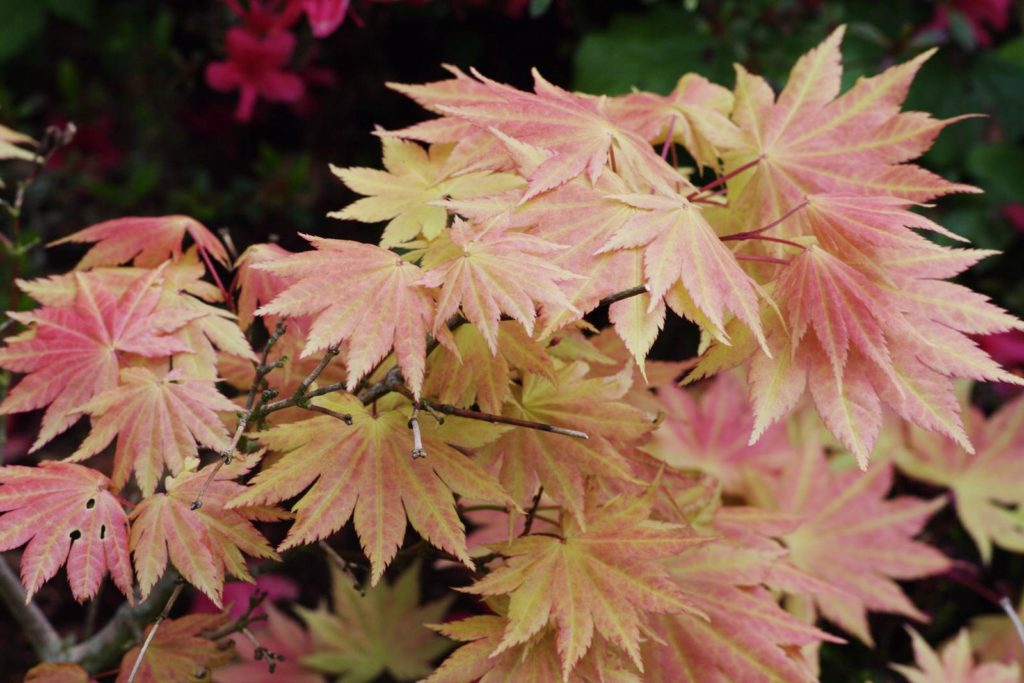 Acer shirasawanum 'Autumn Moon