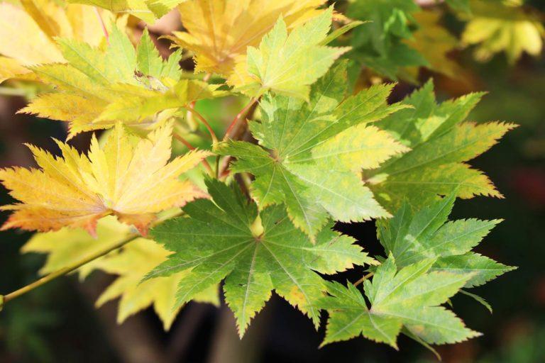 Acer shirasawanum Microphyllum