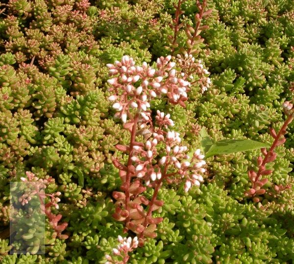 Sedum album Coral Carpet