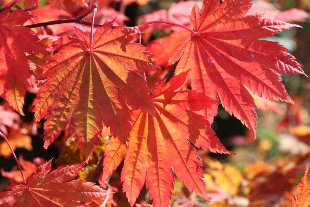 feuillages automne érable