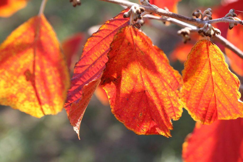 Feuillages automne hamamelis