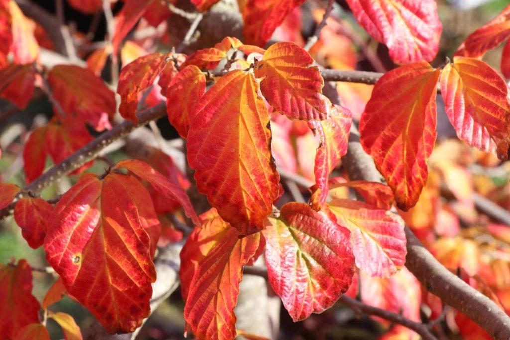 Feuillages automne Parrotia persica