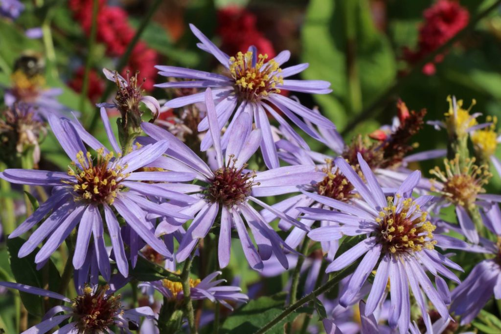 Aster microphyllus Twilight