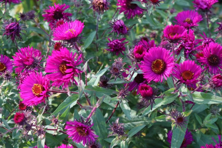 Aster n.a. Super Rouge