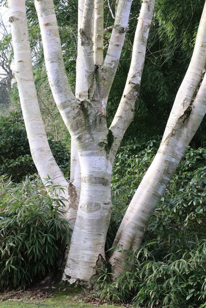 Betula ermanii subcordata