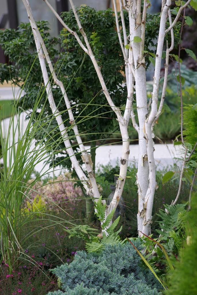 Bouleau blanc