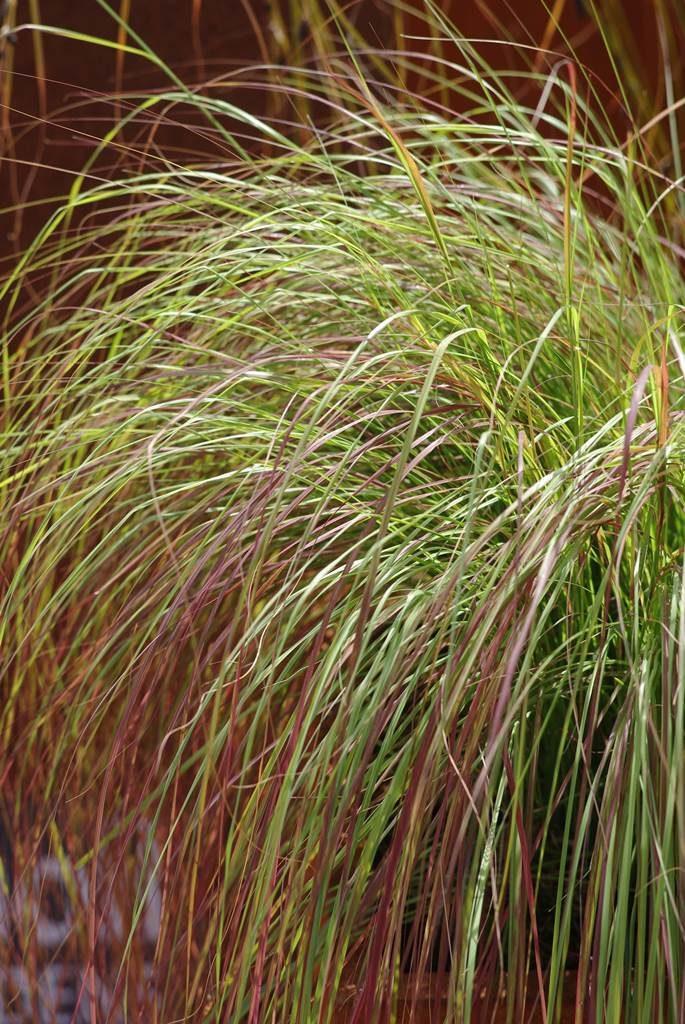 Eragrostis curvula 'Totnes Burgundy'