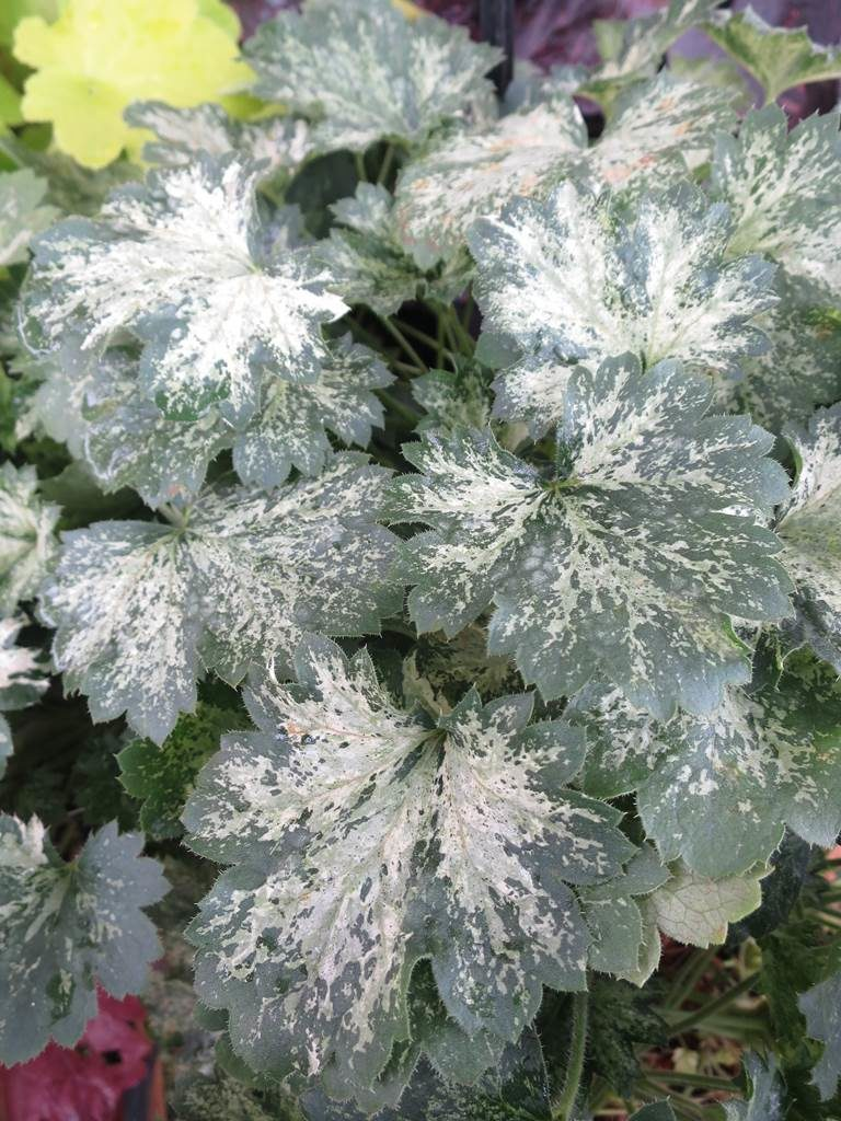 Heuchera Dew Drop
