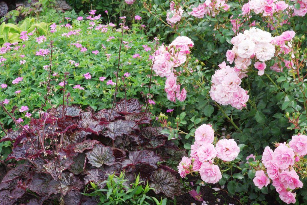 Heuchera, roses et géranium