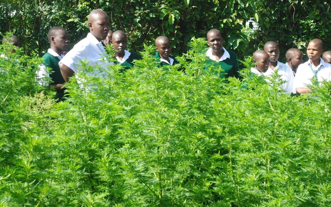 Artemisia annua, la plante qui soigne la malaria