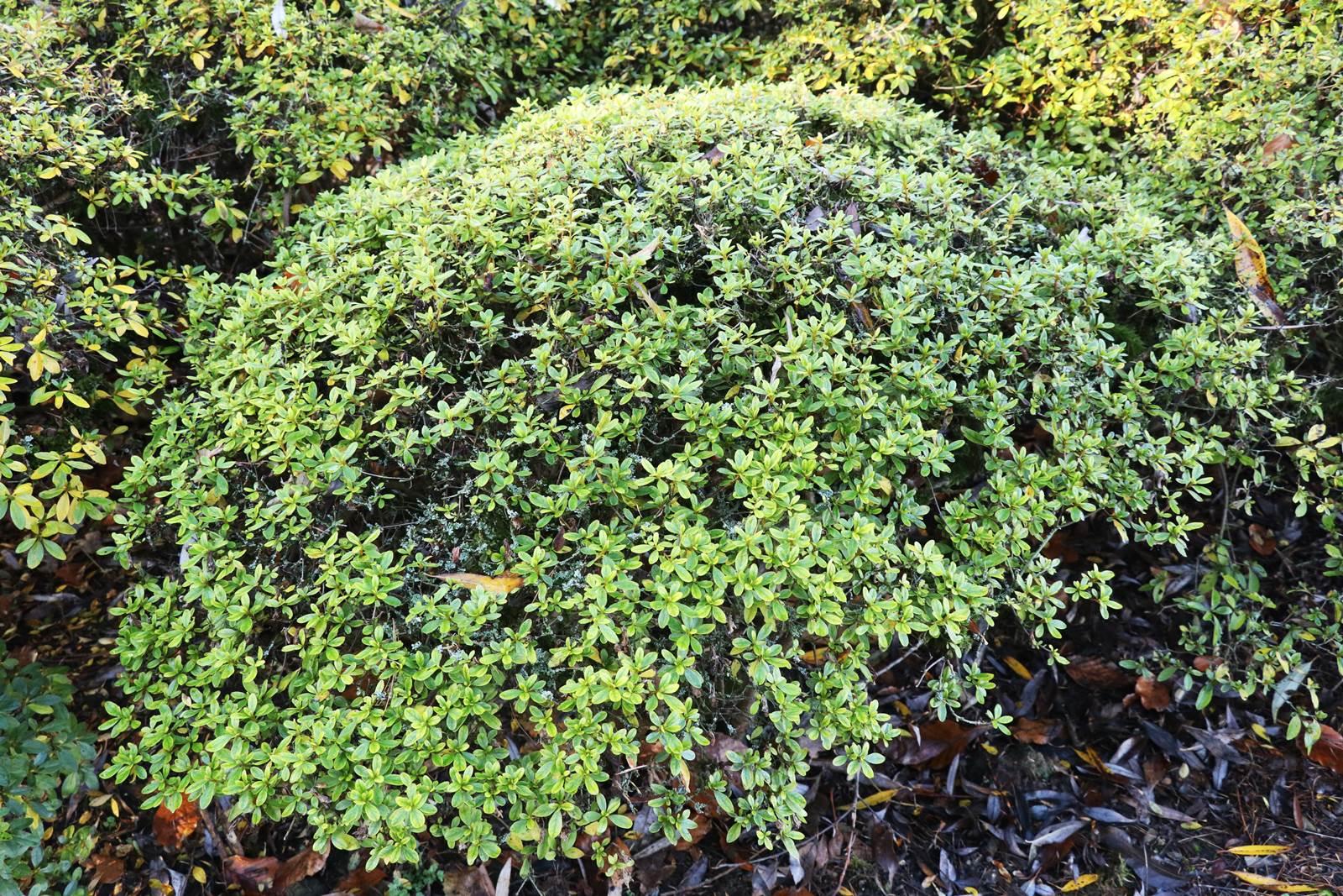 Azalea japonica Hinomayo