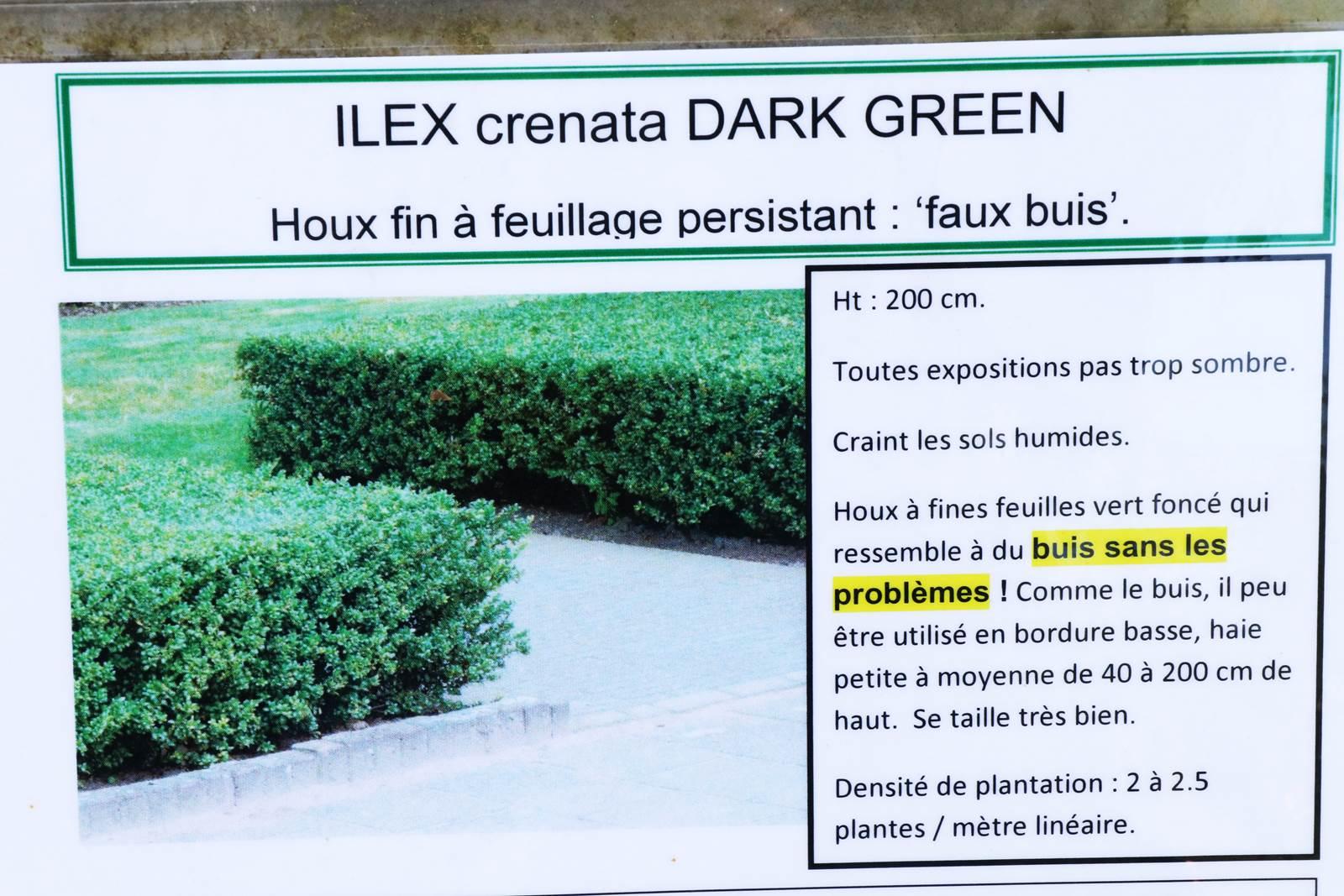 Ilex crenata
