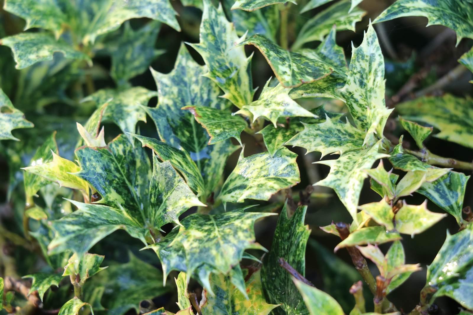 Osmanthus heterophyllus Goshiki