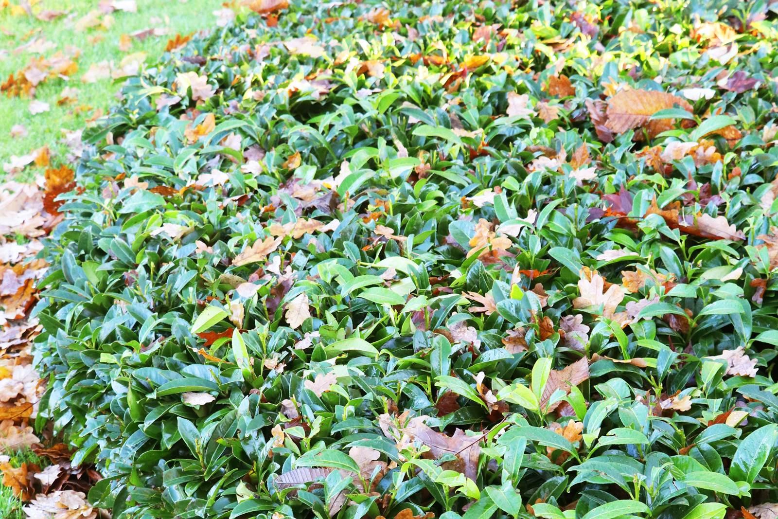 Prunus laurocerasus Mont Vernon