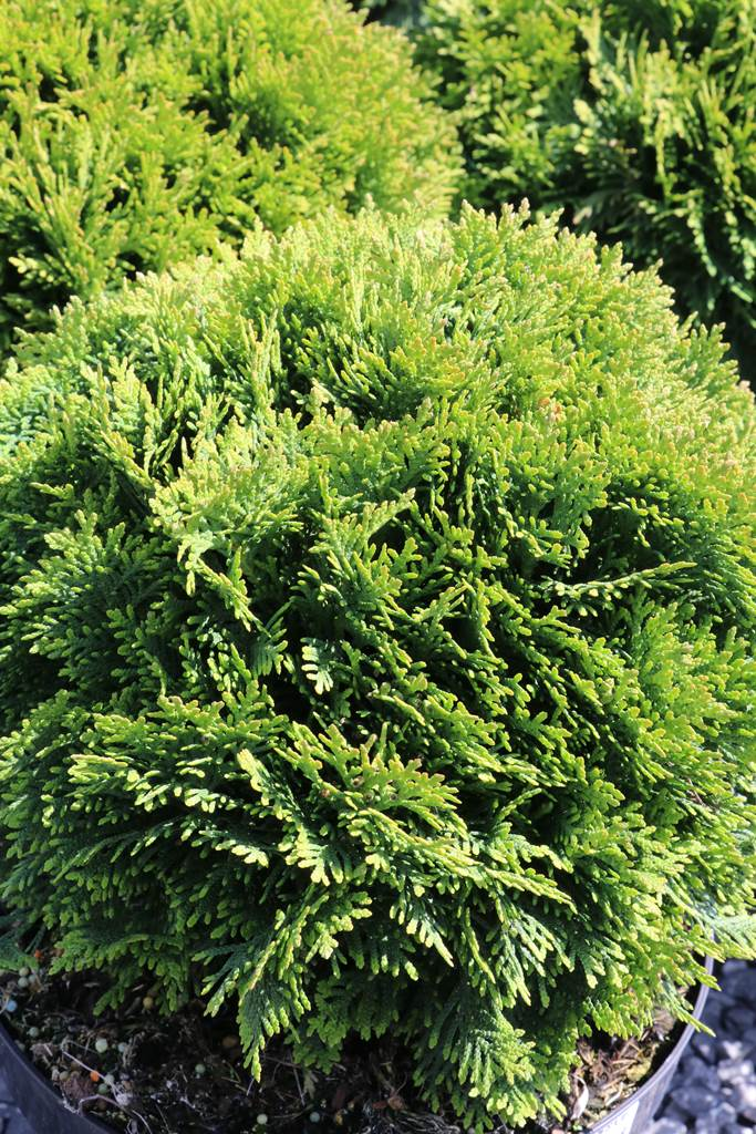 Thuja occidentalis Danica