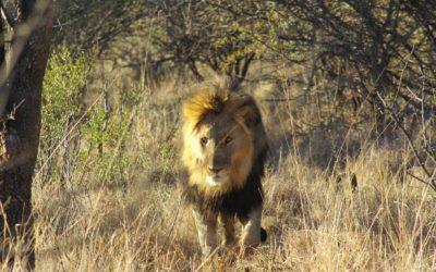 Madikwe Game Reserve, safari en Afrique du Sud