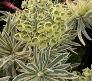 Euphorbia characias Emmer Green