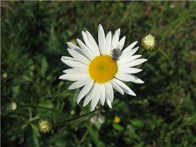 Marguerite sauvage Lucanthemum vulgare