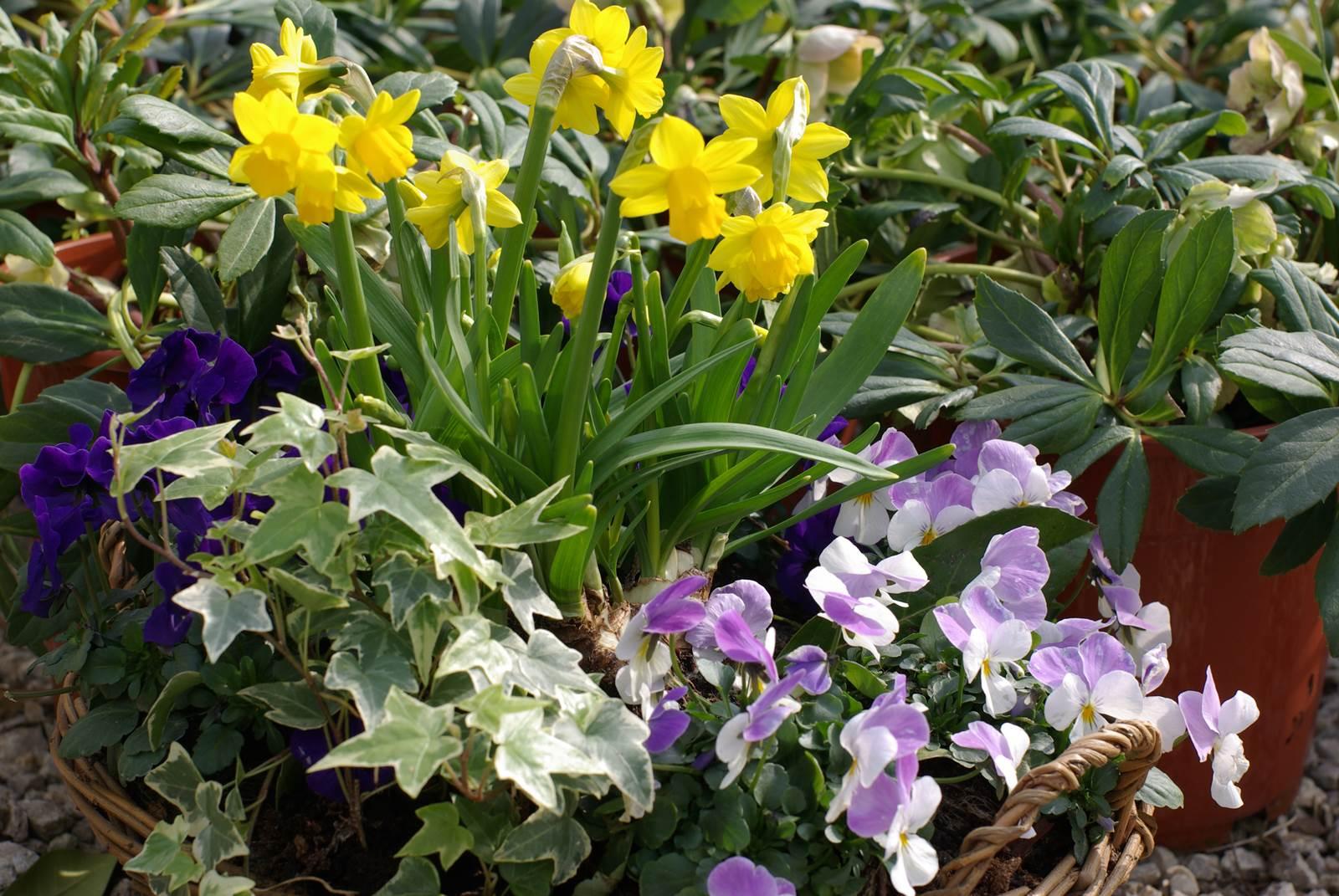 Petites Plantes Fleuries En Pot printemps en pot, de la couleur sur le balcon - la terre est