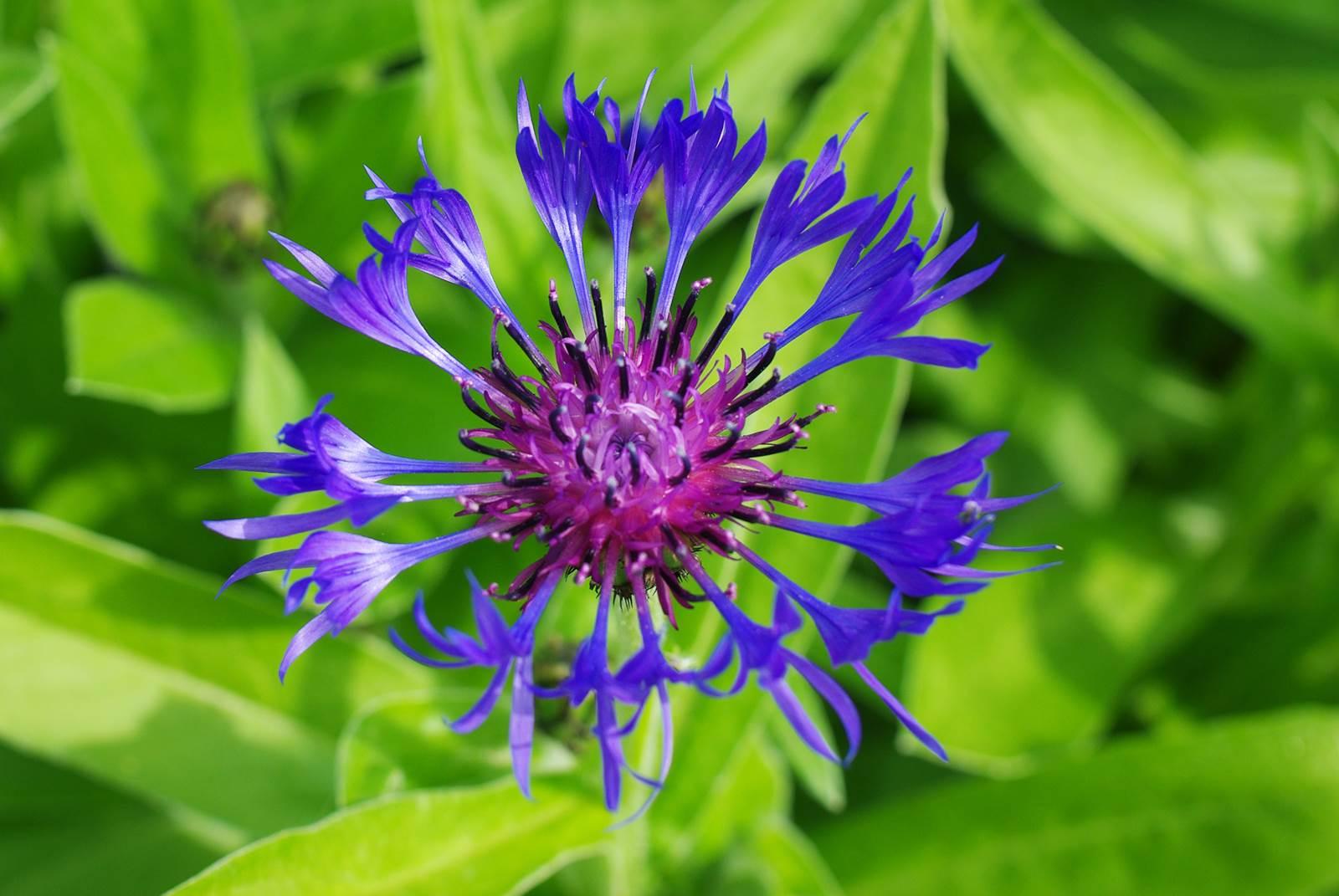 Bleuet centaurée