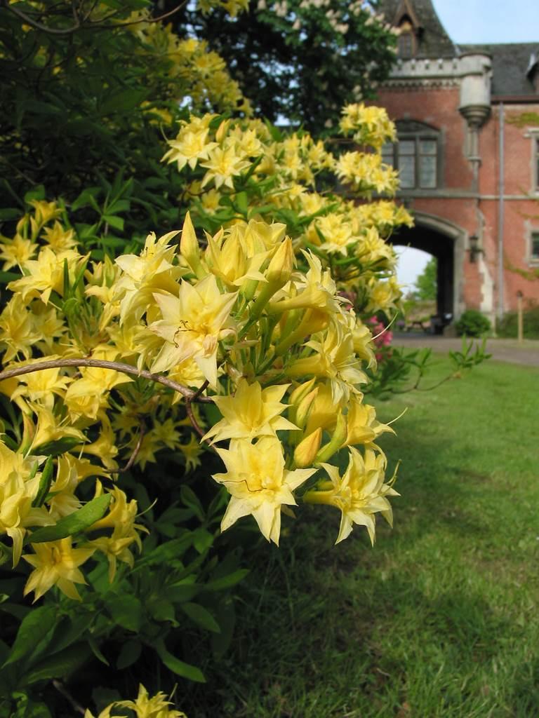 Azalée Narcissoflora