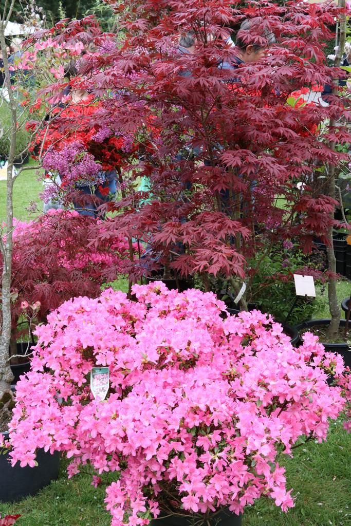 Azalea japonica Gilbert Mullier et Acer palmatum