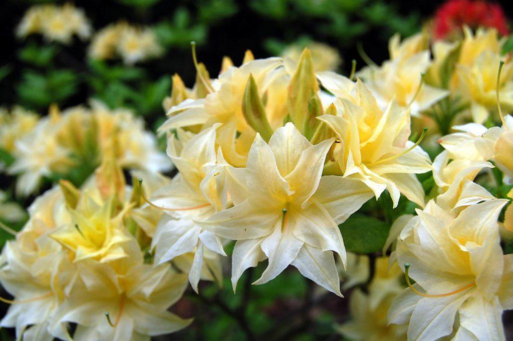 Azalea rustica Praxitele
