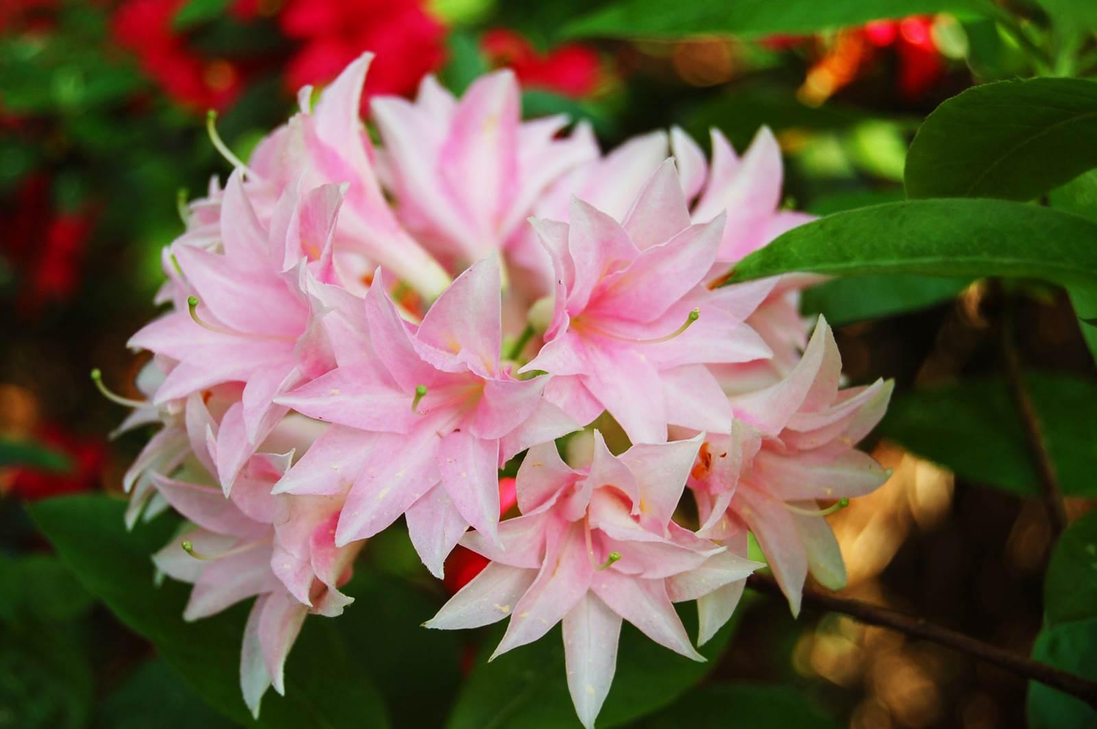 Azalea rustica Ribera
