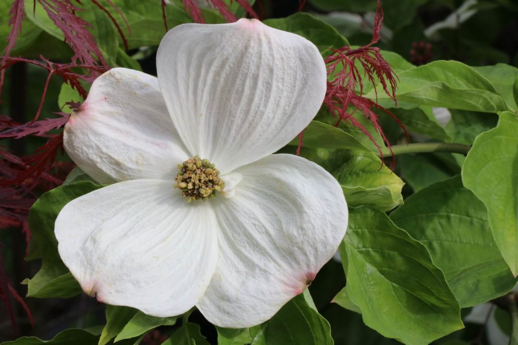 Cornus florida 'Eddie's White Wonder'