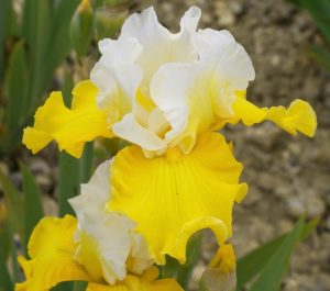 Iris amoena Vicomtesse de Curel