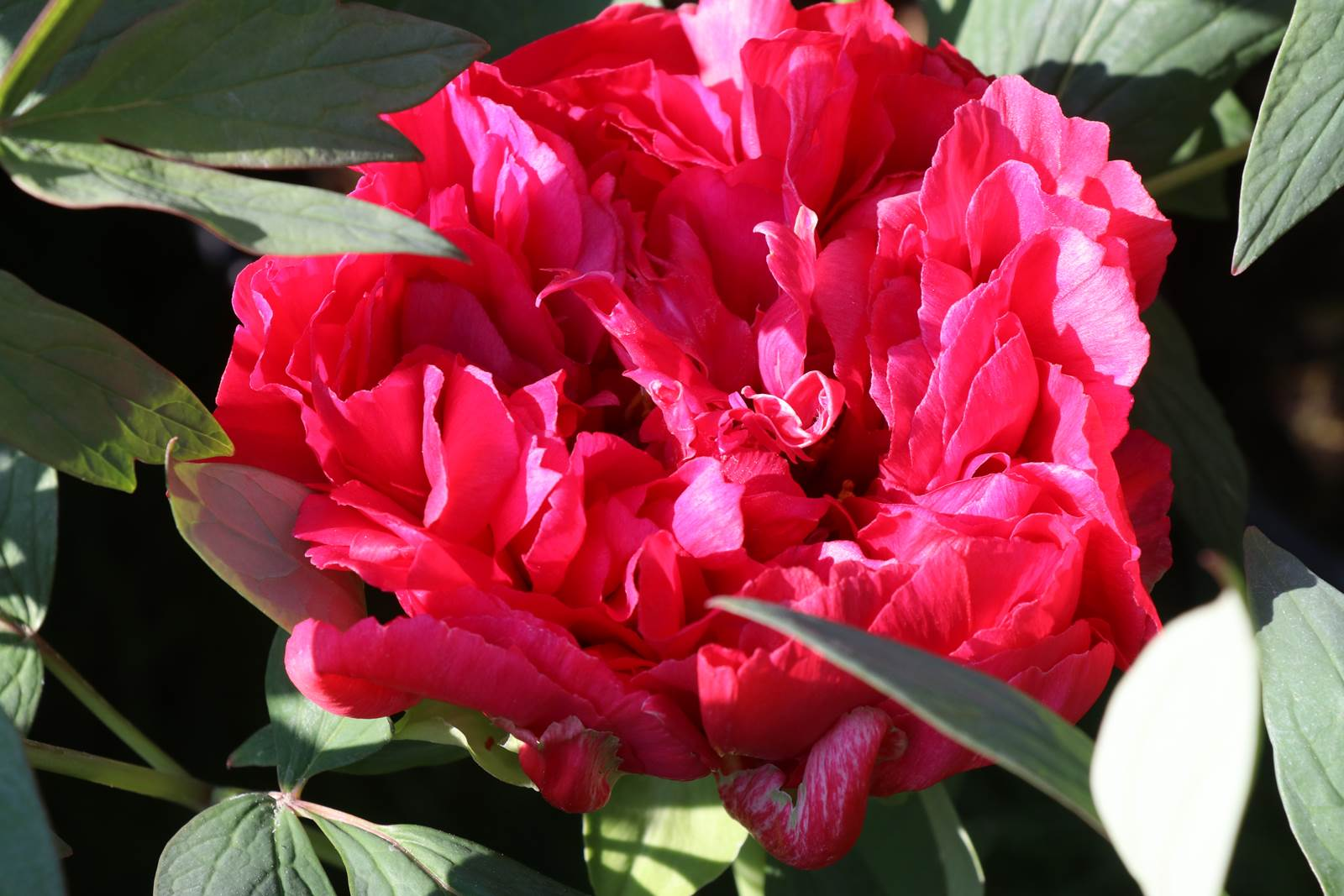 Paeonia Mme André Devillers