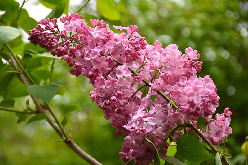 Syringa x hyacinthiflora