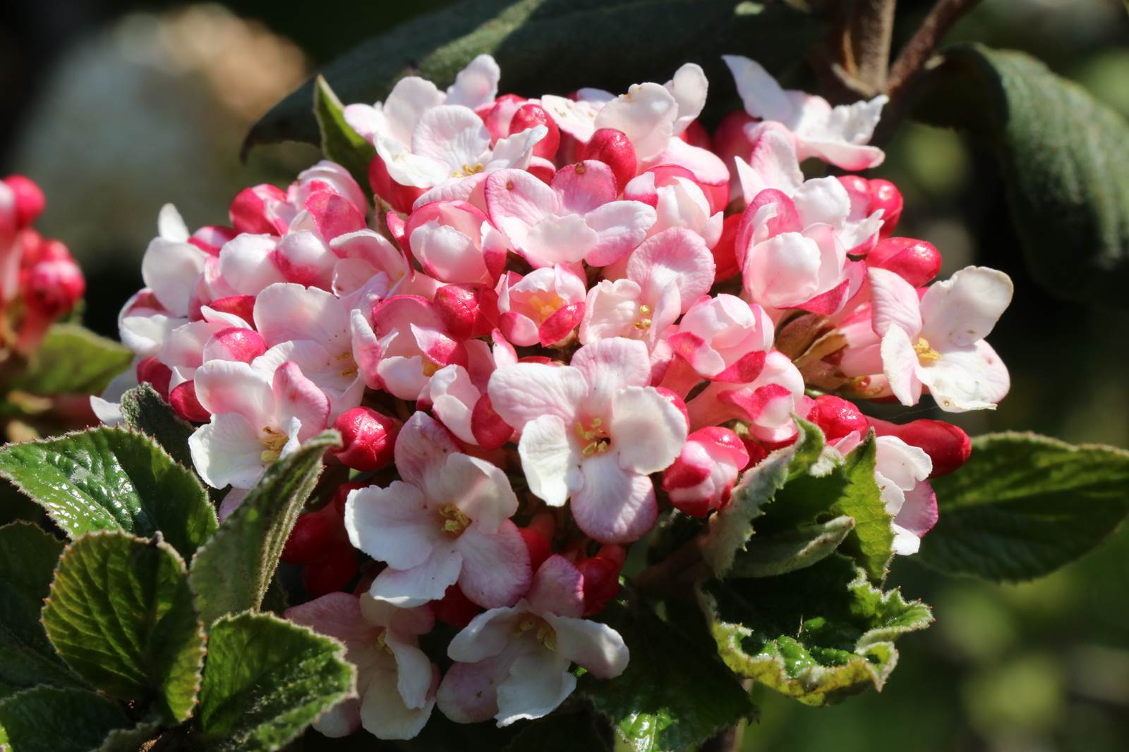 Viburnum x burkwoodii Mohawk