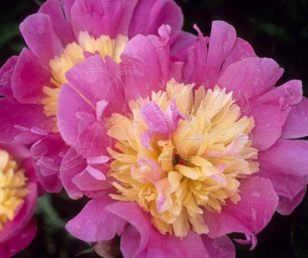 Pivoine Beautifull Senora