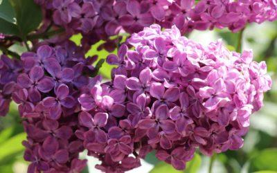 Le retour des lilas au jardin