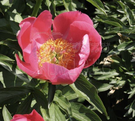 Paeonia lobata China Rose