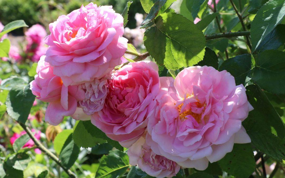 Juin, Almanach du jardinier