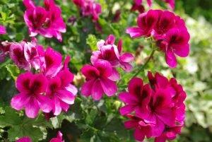 Juin Almanach du jardinier
