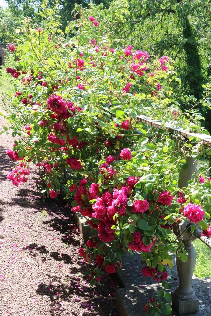 Les roses du château de Hex