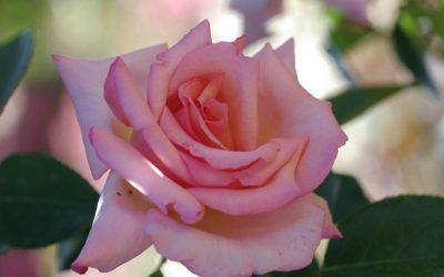 L'enivrant parfum des roses