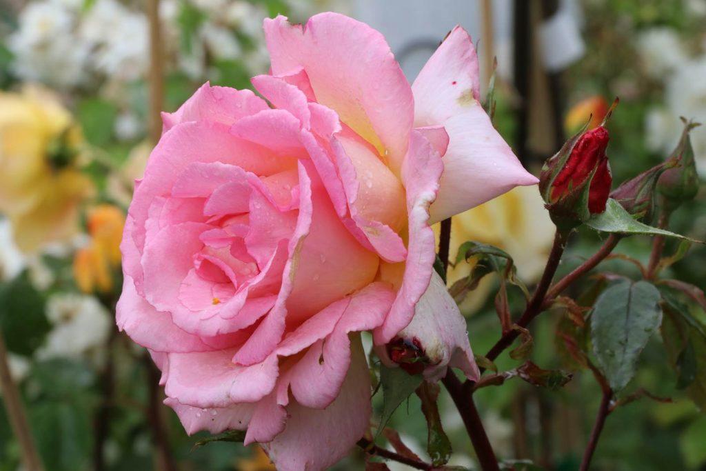 6930b963eee082 L'enivrant parfum des roses - La terre est un jardin