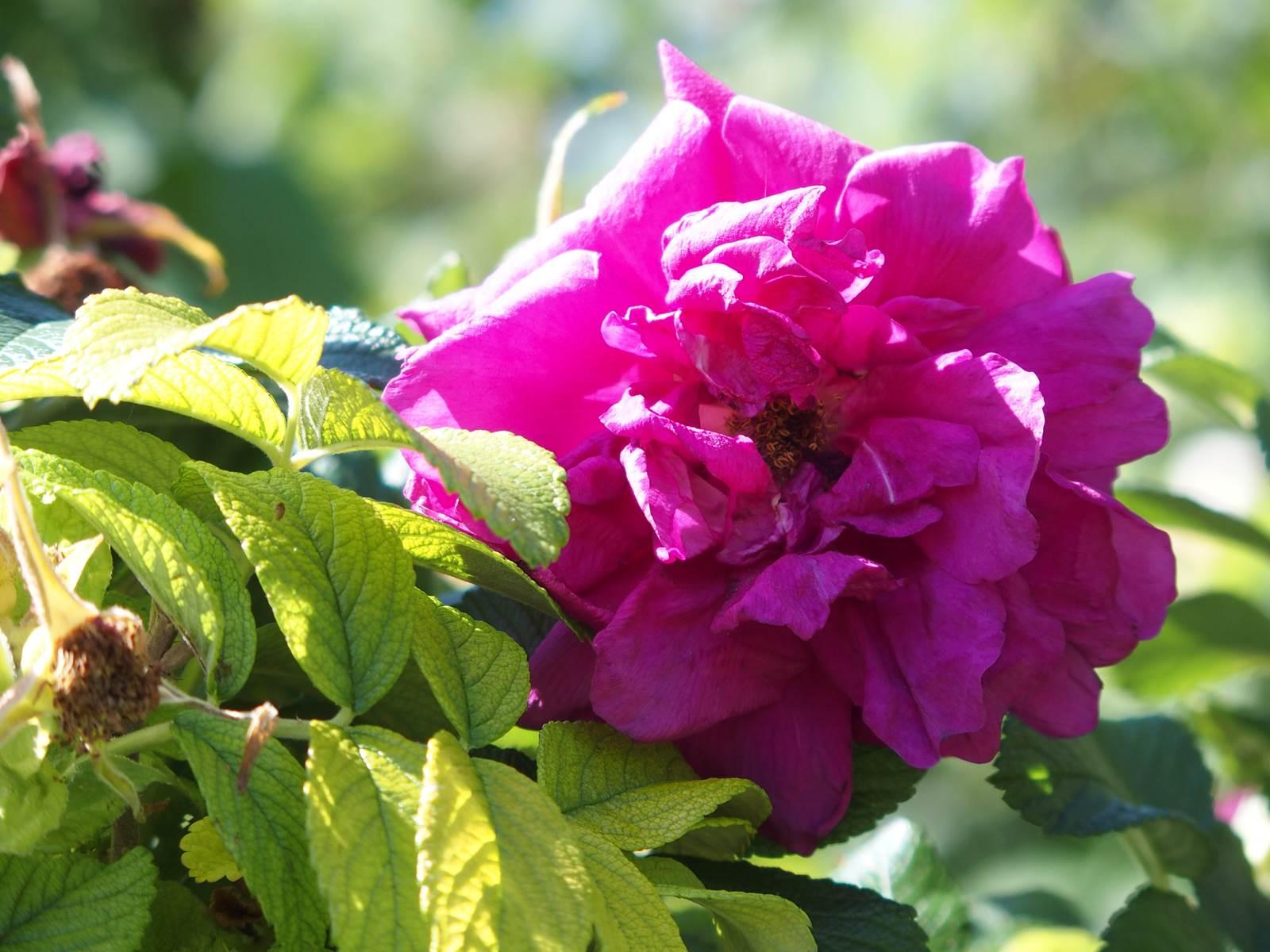 Rosier rugosa Roseraie de l'Hay