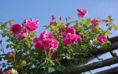 Sous le charme des rosiers grimpants