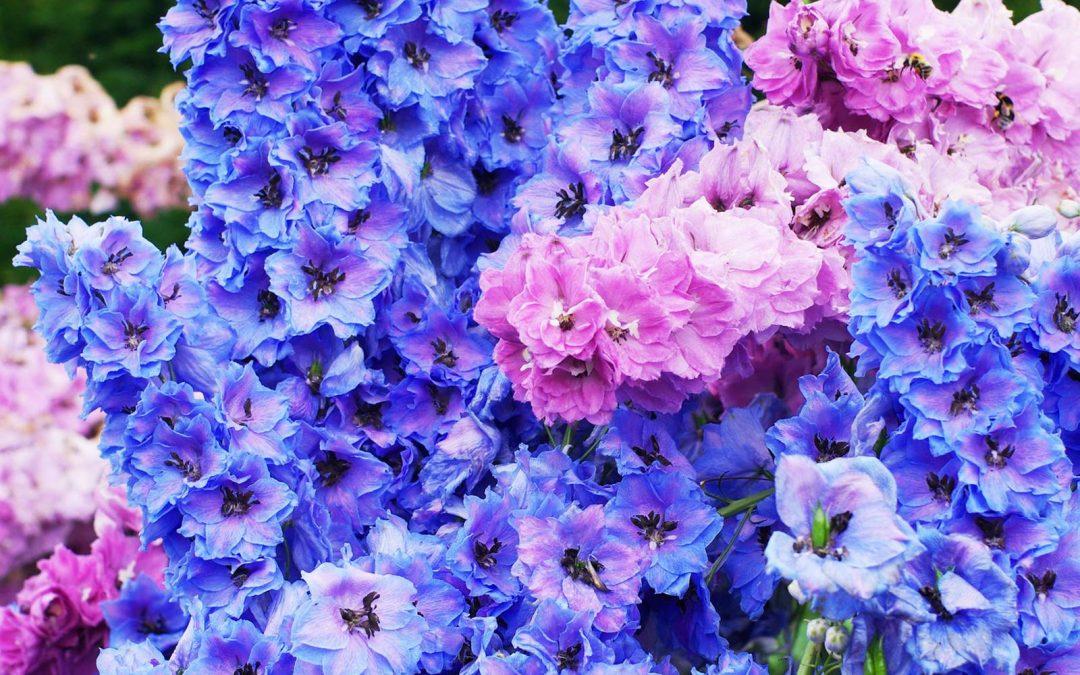 Delphinium, le grand bleu