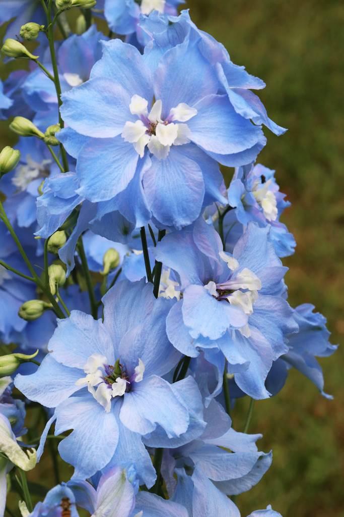 Delphinium elatum Blue Lagoon