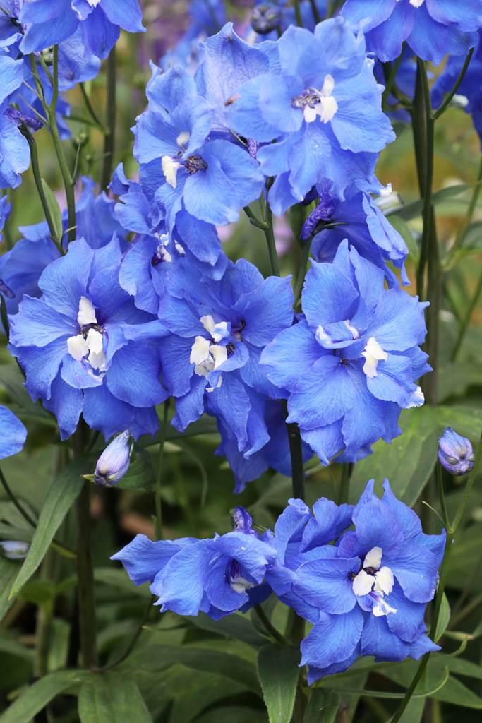 Delphinium elatum Blue Nile