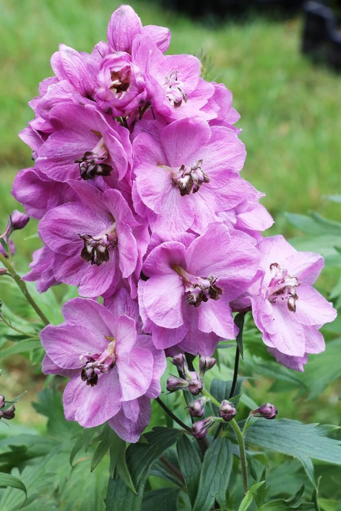 Delphinium elatum Rosemary