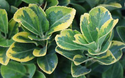Les arbustes qui résistent à la sécheresse!