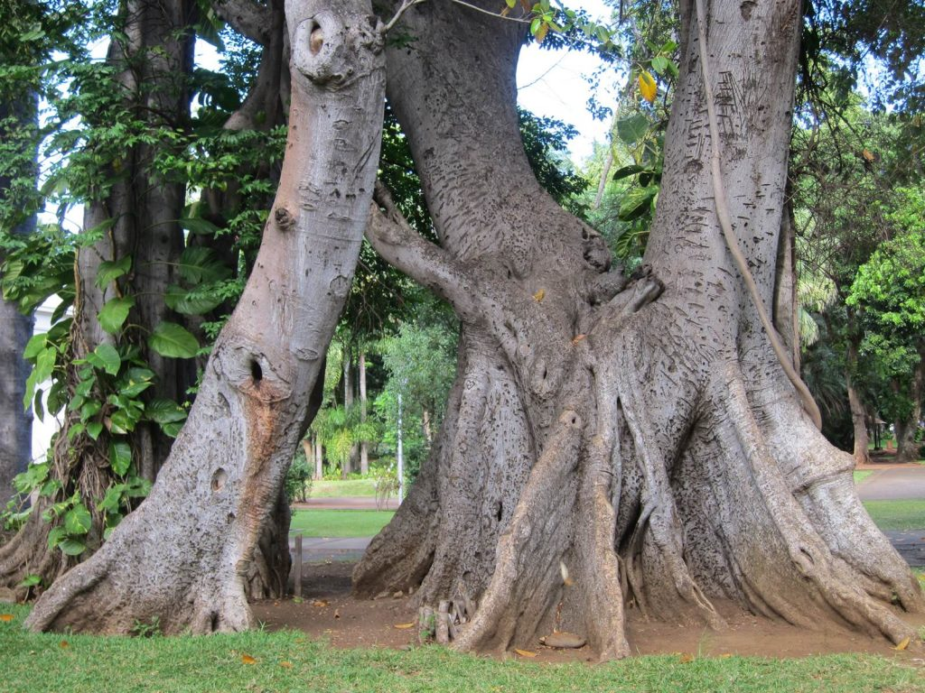 Ficus altissima Grand figuier